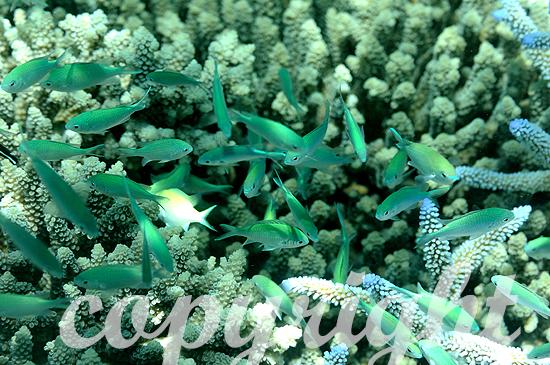 Malediven, Grünes Schwalbenschwänzchen, Chromis viridis