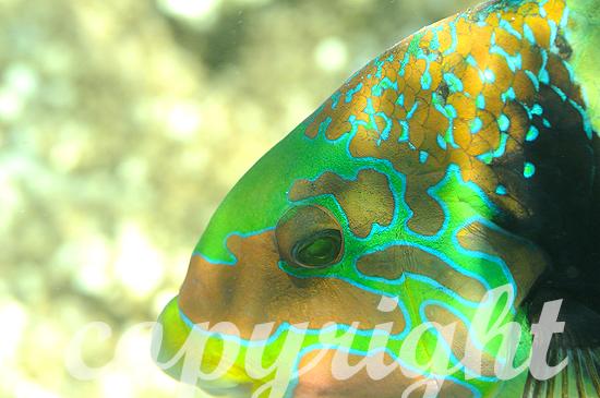Malediven, Quergestreifter Dicklippen-Lippfisch, Hemigymnus fasc