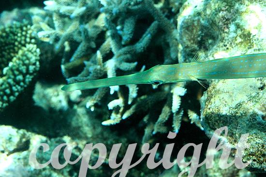 Malediven, Seenadelartige, Ordnung Syngnathiformes