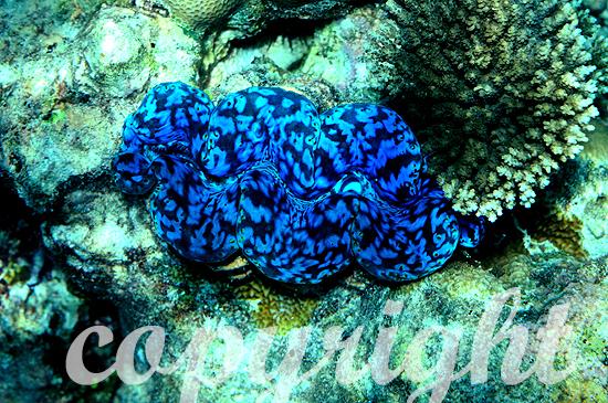 Grabende Riesenmuschel, Tridacna maxima