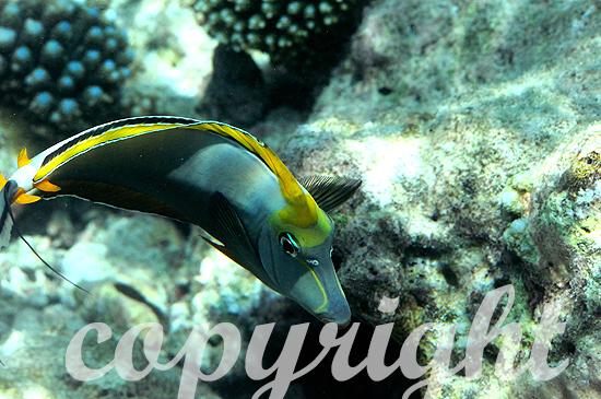 Malediven, Orangeklingen-Nashorndoktorfisch, Naso literatus