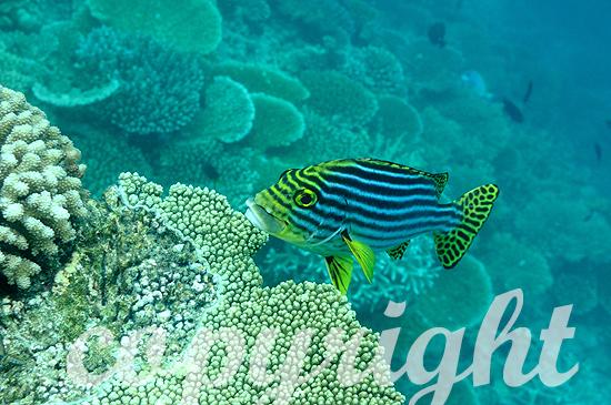 Malediven, Harlekin-Süßlippe, Plectorhinchus chaetodonoides
