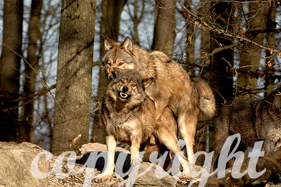 Wolf - Canis lupus