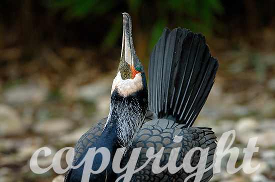Kormoran - Phalacrocorax carbo