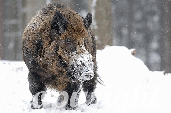 Starker Wildschwein-Keiler im Tiefschnee, Hauptschwein
