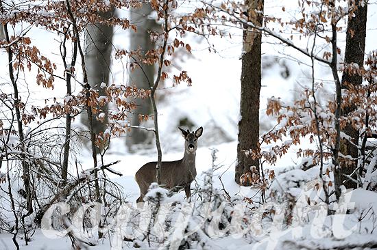 Winterreh im verschneiten Wald