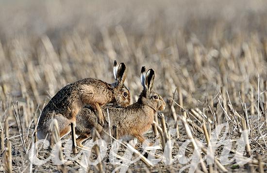 Feldhasen auf dem Stoppelfeld bei der Paarung, Rammeln, t im Feb