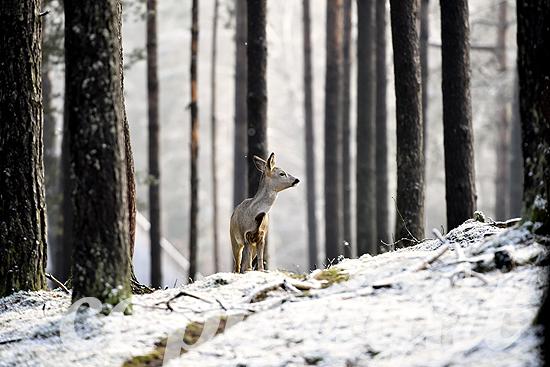 Rehe im Wald