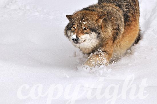 Europäischer Grauwolf im Tiefschnee zur Ranzzeit