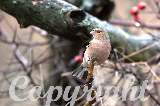 Buchfink im Winter