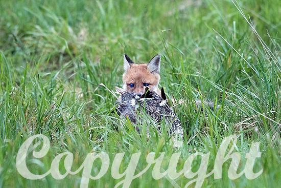 Fuchs, Jungfuchs