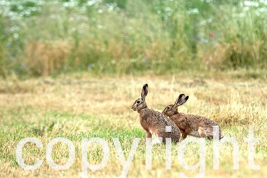Jungfüchse, Füchse