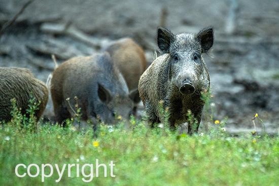 Wildschweine, Sauen