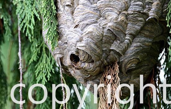 Hornissen, Hornissennest