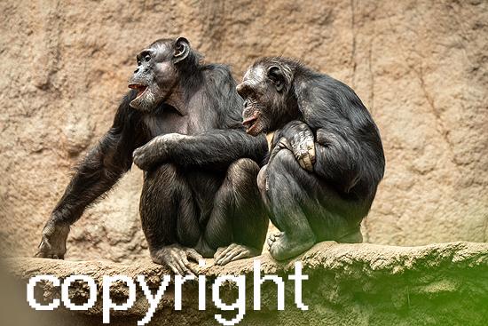 Schimpanse (gemeiner)