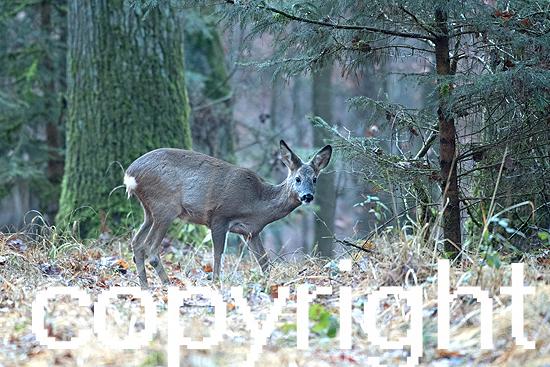 Rehe im Dezember Wald