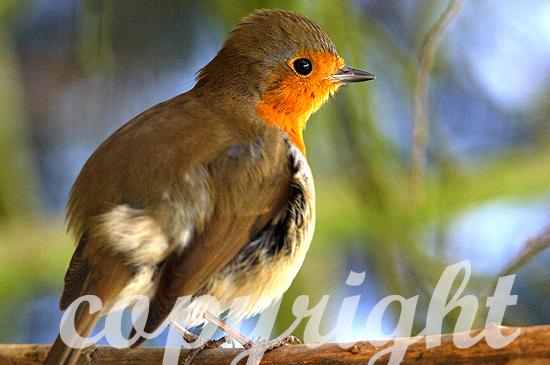 Rotkehlchen - Erithacus rubecula