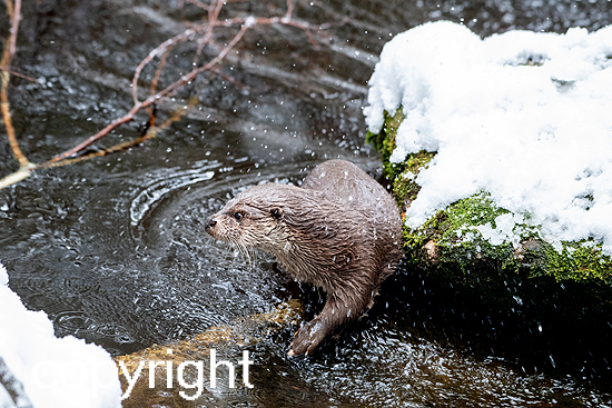 Fischotter im Winter