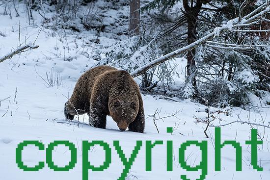Braunbär im Winter