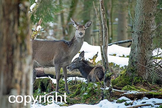 Rotwild im Winterwald