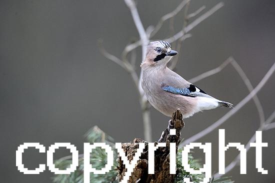 Eichelhäher