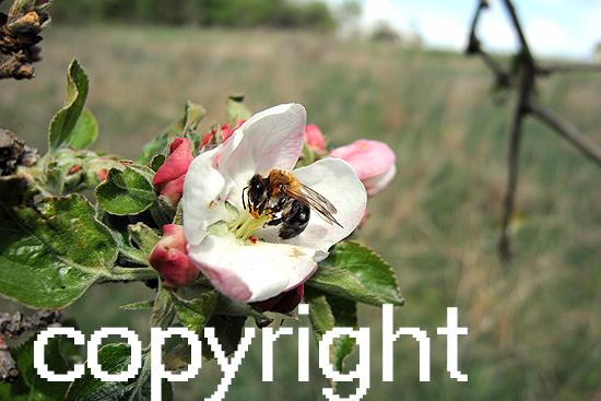 Apfelblüten mit Biene