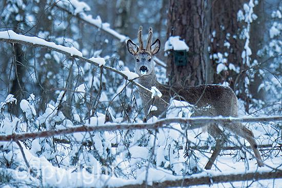 Rehe im Winterwald