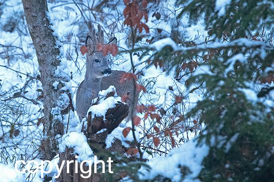 Rehbock im Winterwald