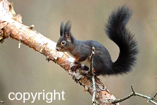 Eichhörnchen, schwarz