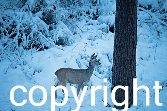 Reh im Winterwald