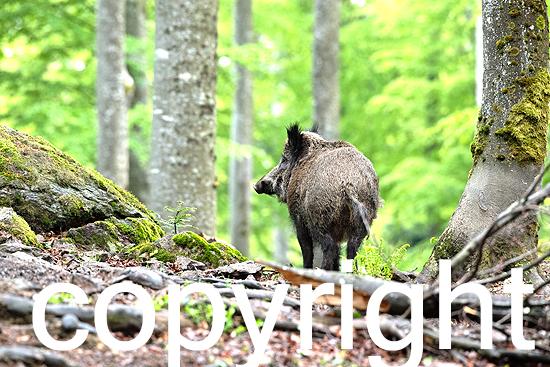 Wildschweine im Buchenwald