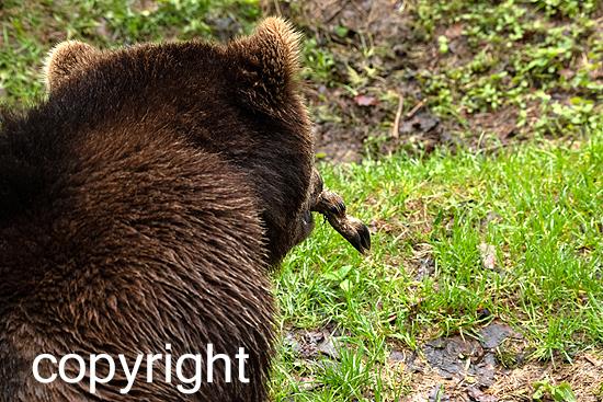 Braunbär im Frühjahr