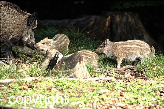 Wildschweine vor Frühlingsbeginn