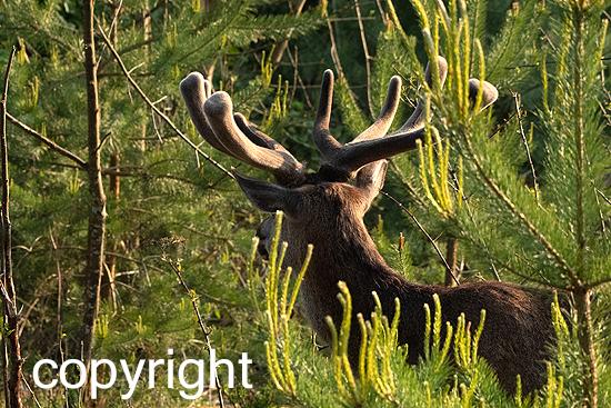 Rotwild im Stangenholz