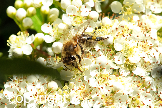 Bienen auf Blüten