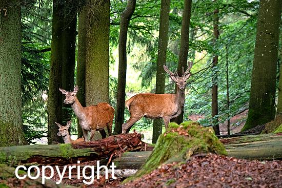 Rotwild im Forst