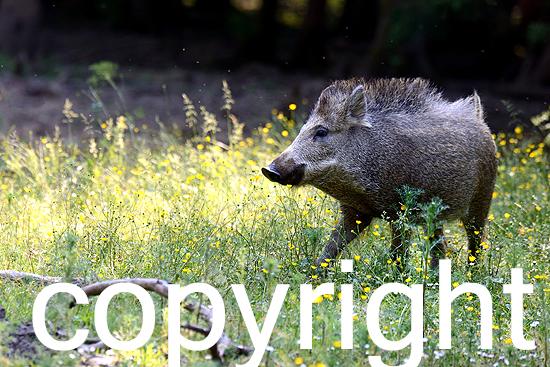 Wildschweine im Frühling