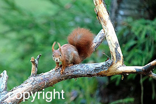 Eichhörnchen, rot