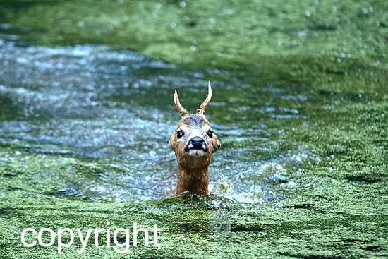 Rehbock am Teich