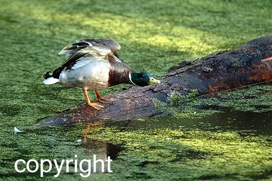 Stockenten-Erpel auf Teich