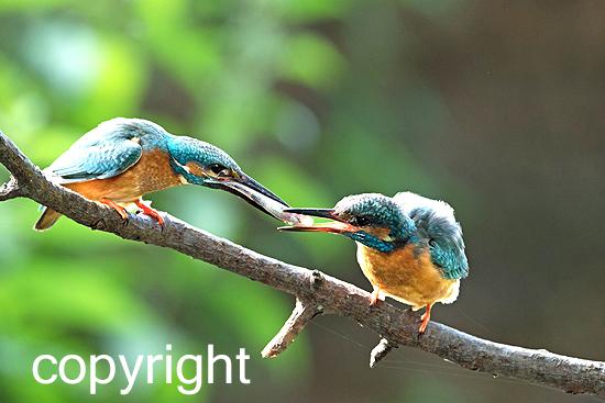 Eisvogel beim Füttern