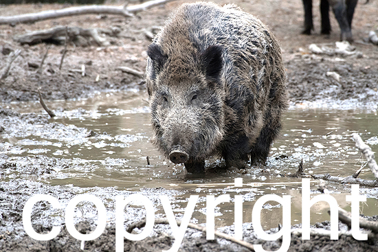 Wildschweine  im Herbst, Suhle